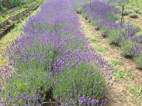unsere Lavendelfelder