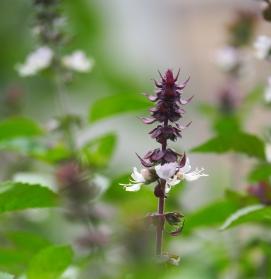 Blüte des Zimtbasilikums